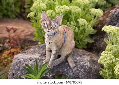 Devon rex cat is walking in the garden. Cat is enjoying being outside. Cat feeling the pleasure of fresh air and sun.