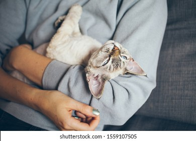 Devon Rex kitten is laying down in owners arms feeling happy content and purring. Beautiful black color point cat is sleeping on woman's arms. Selective focus