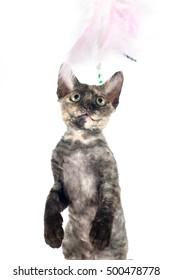Devon rex purebrebred cat on white