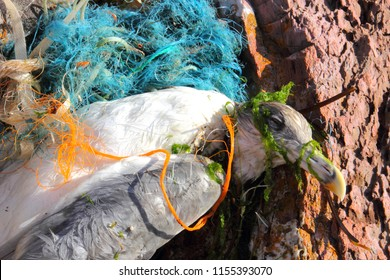 Devon/Great Britain/August 13th 2018/Seagull killed by plastic and nylon pollution