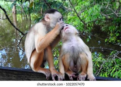 Devoted Male Capuchin Monkey Lovingly Grooming its Mate, Amazon Rainforest, Brazil