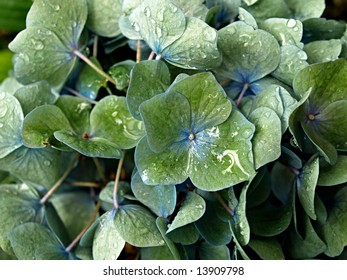 Dew covered hydrangea plant of green with blue centers and veins