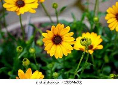 Dew covered yellow Osteospermum flower bed