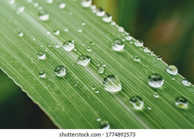 Dew drop on lemongrass on blurred light background. Selective focus.