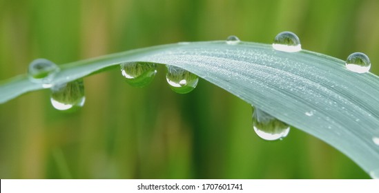 Dew Drops. The atmosphere in the morning the air feels fresh with warm morning sunlight that looks sparkling morning dew dew on flowers and green grass in the tropical rice fields. Macro photography.