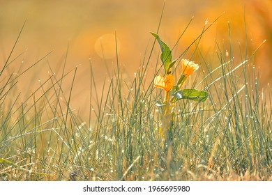 Dew drops blurred on the green grass. Morning freshness. Yellow flower in the garden.