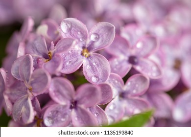 Dew drops on the flowers of lilac