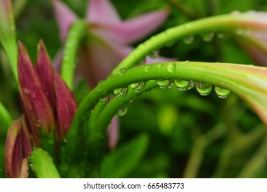Dew drops on green flower stem with pink flower