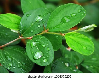 Dew drops on the leaves Morning after heavy rain last night in Asia, Thailand - Shutterstock ID 1364575235