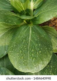 Dew drops on Pakcoy mustard or bok choy leaves