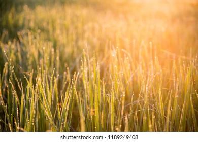 Dew drops on rice Morning sunlight rays