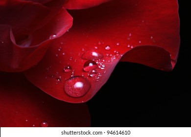 dew drops on rose petal
