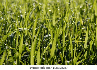 Dew drops on the sweetgrass (Hierochloe) on the fringe of the forest. Photo with a local focus and blurred background