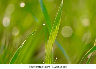 Dew drops on wheat crop in morning light. selective focus. close up background of agriculture land farm field