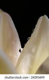 Dew drops on white lily