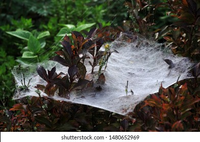 dew in large and dense spider web in a garden hedge with dogwood shrubs