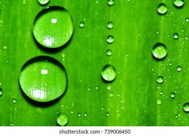 Dew on banana leaves