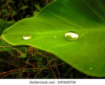 Dew on colocasia esculenta plant