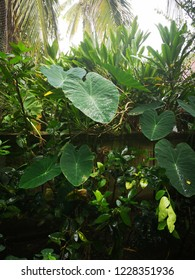 Dew on Colocasia esculenta var.