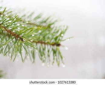 Dew on evergreen fir at closeup with shallow depth of field, foggy lake in background