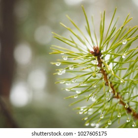 Dew on fir at closeup in forest with shallow depth of field