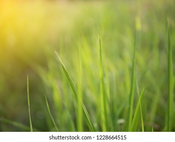 Dew on grass on the morning with sunray effect and blurred vission. Abstract background and texture of green natural.