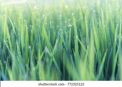 Dew on green leaves of rice plant. bokeh and blur of rice plant background. Blur of spider.