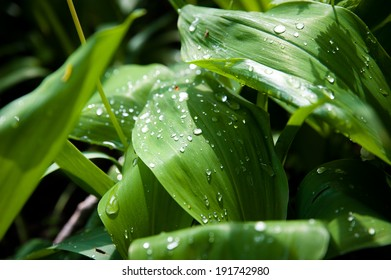 dew on leaves after rain lily