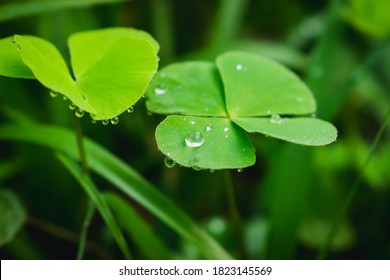 Dew on leaves.Drop of dew in morning on clover leaf.Raindrop fallen on the green clover leaf.