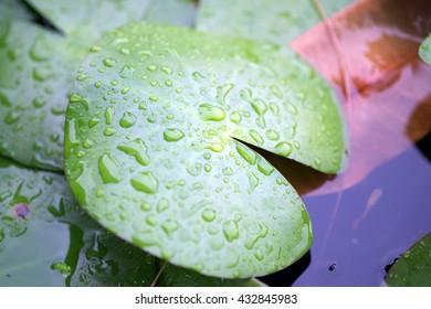 Dew on a lotus leaf