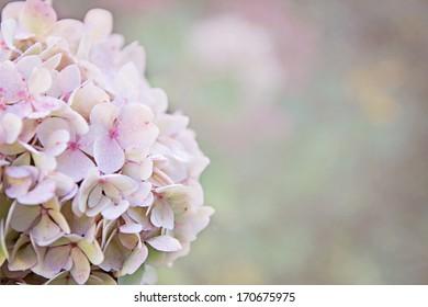 Dew on a pale pink hydrangea. Shallow DOF