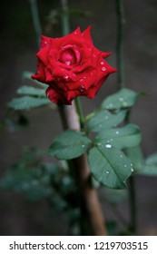 Dew on red rose and leaf in the morning