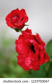 Dew on red roses in the morning
