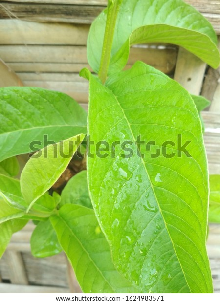 guava leaves garlic increase sperm count