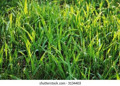 Dew-drop on grass
