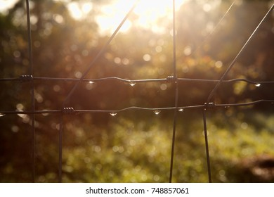 Dewdrops formed on a wire fence shimmer briefly in the soft early morning sunlight.