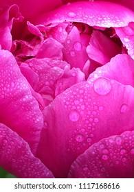 Dewdrops on Pink Petals