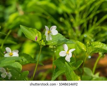 Dewdrops on wild violets or violas