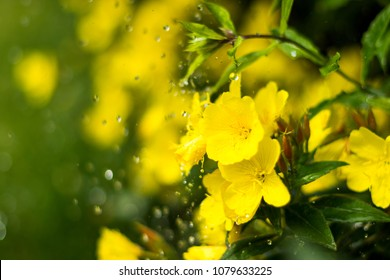 Dewy evening primroses in the flowerbed in the ornamental garden in a rainy day, nature and herb concept