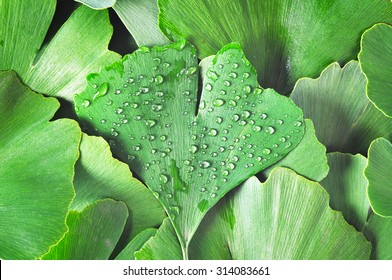 Dewy Ginkgo Biloba leaf part of other ginkgo leaves as a background