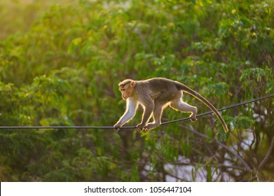 dexterous Monkey walking on the the electric wire in the jungle
