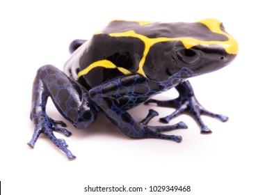 deying poison dart frog, Dendrobates tinctorius. A poisonous Amazon rain forest animal isolated on white.