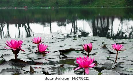 Dhaka - Bangladesh - 2019: Flora and Faunas of Bangladesh. Red water lily flower Asia.