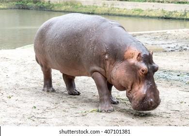 Dhaka, Bangladesh, April 16, 2016: big Hippopotamus in the bangladesh dhaka national zoo, bangladesh