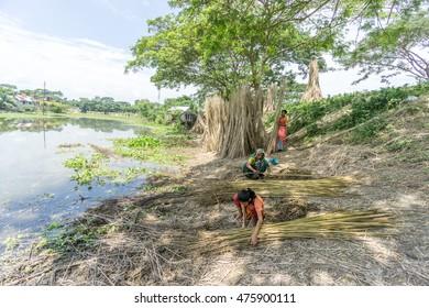 Dhaka, Bangladesh - AUG 26, 2016 : Unidentified people are processing jute on August 26, 2016 in Dhaka, Bangladesh