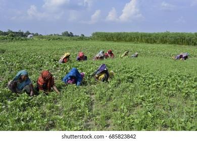 DHAKA, BANGLADESH - JULY 28, 2017: Bangladeshi farmers take care of a vegetable field at Dhaka, Bangladesh  on July 28, 2017.