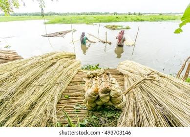 Dhaka, Bangladesh - September 20, 2016 : Unidentified people are processing jute in Dhaka, Bangladesh