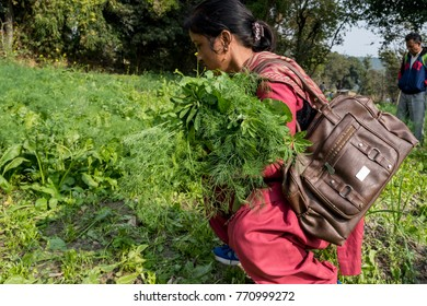 Dharamshala, India - November 20, 2017: A woman collecting fresh produce vegetables directly from the field.