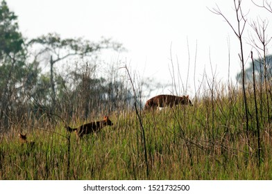 dhole, asiatic wild dog found at South, and Southeast Asia.