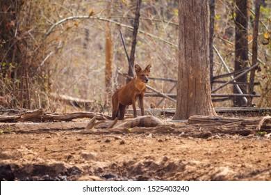 Dhole or Indian Wild Dog standing Alert in Nagzira Tiger Reserve, Maharashtra, India